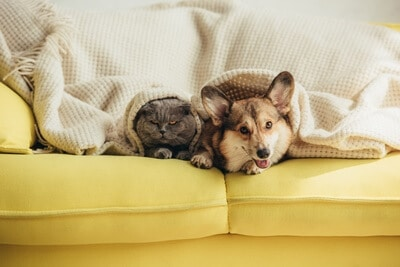 Can Corgis Live with Cats?