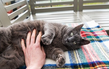 are cats ticklish on their belly?