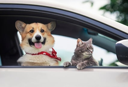 are corgis friendly with cats?