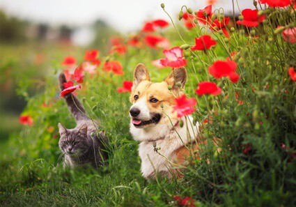 are corgis good with cats?