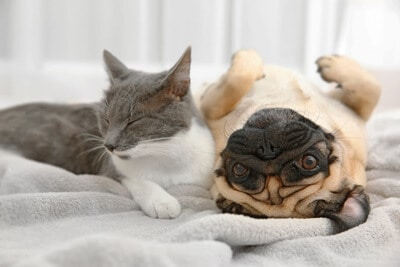 can cats and pugs play together?