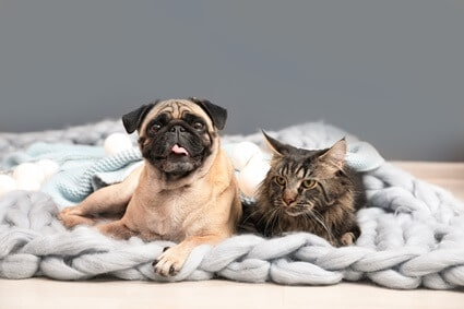 do pugs bark at cats?