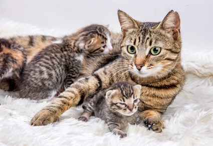 how far do cats move their kittens?