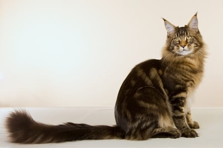 Cat with longest tail