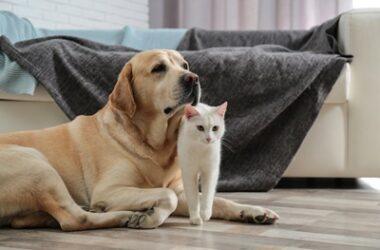 Do Cats Get Along with Golden Retrievers?