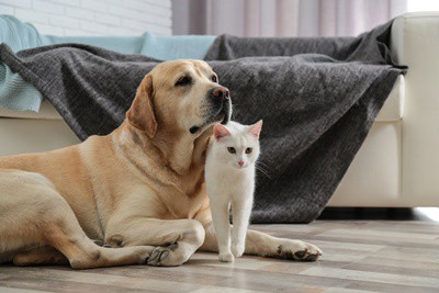 Do-Cats-Get-Along-with-Golden-Retrievers?