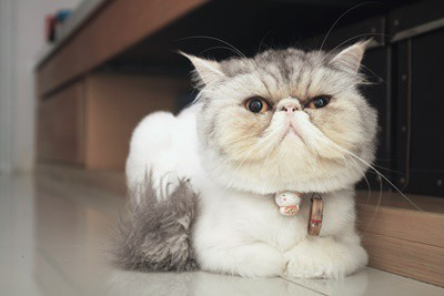 do flat-faced cats have breathing problems