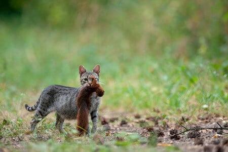 how do cats kill squirrels