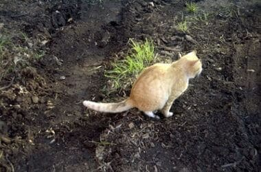 old cat not covering poop and pee