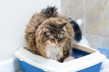older cat sitting in litter box