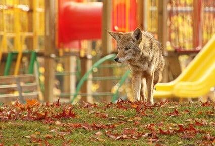 can a cat escape a coyote?