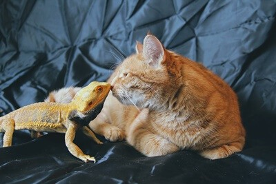 can cats be friends with bearded dragons?