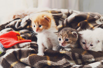 can cats be pregnant with two different litters?