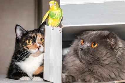 can cats kill parrots?