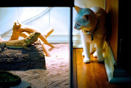 can cats live with bearded dragons?