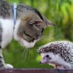 can hedgehogs be friends with cats?