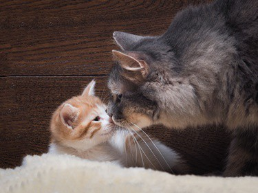 getting a kitten with a senior cat