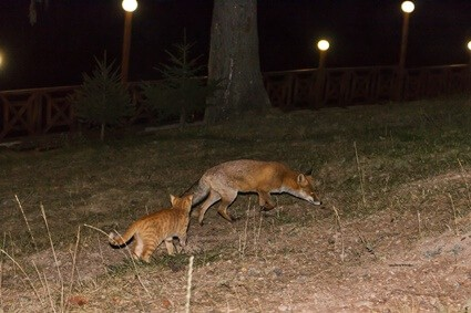 how common are fox attacks on cats?