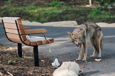 how to keep cats safe from coyotes