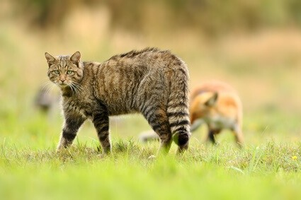 how to keep cats safe from foxes