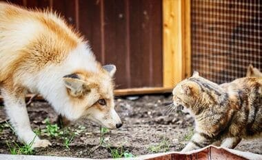 how to keep foxes away from cats