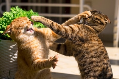How To Stop Cats Fighting Over Territory [A Complete Guide]