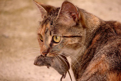 is it safe for cats to eat mice?