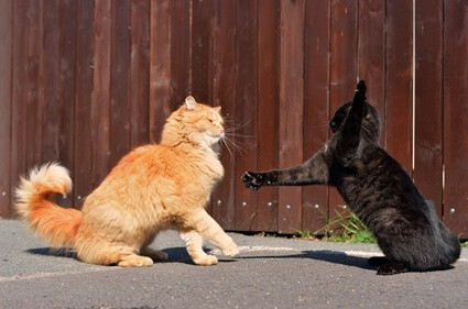 why do cats fight outside?