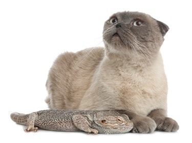 will cats attack bearded dragons?