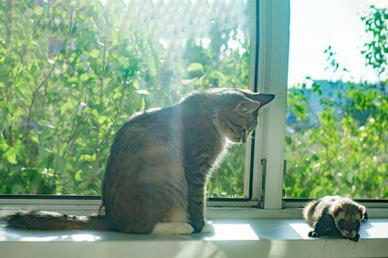will my cat hurt my ferret?
