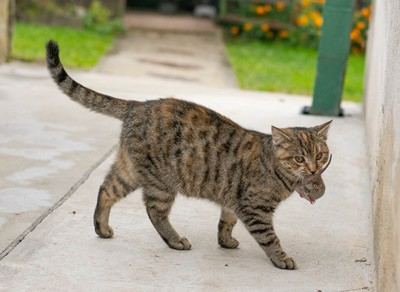 best cats for catching mice