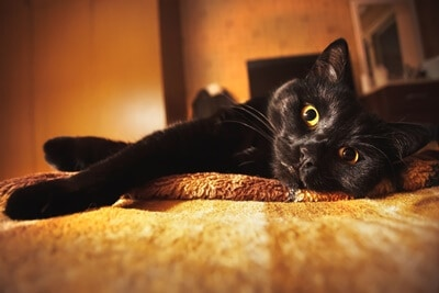 black cat facts and information