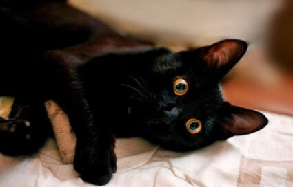 fun facts about black cats