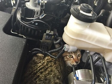 how to get a cat out of a car hood