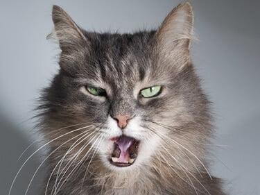 teeth grinding in cats