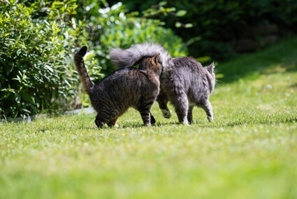 why do cats sniff each other's behinds?