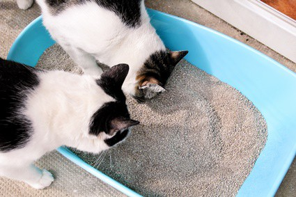 why does cat urine smell like ammonia?
