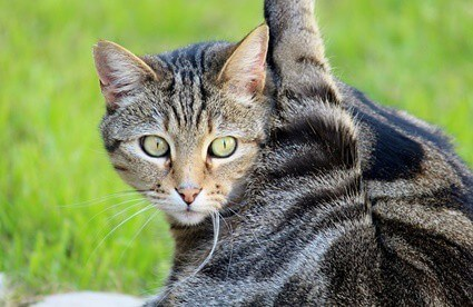 Why do cats kick with their back legs?
