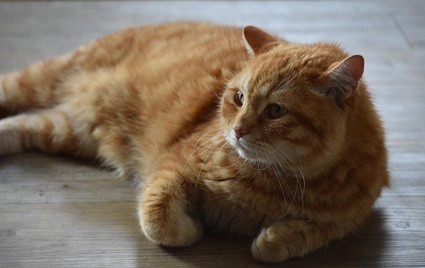 can cats understand human meows?