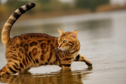 why are domesticated cats afraid of water?