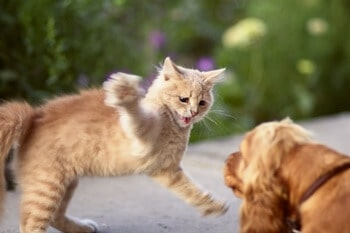 Bullying Other Pets