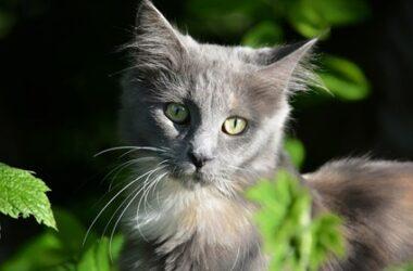 can you cut cat ear hair?