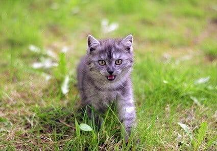 do cats meow to sound like babies?