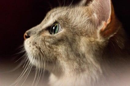 does cat ear hair grow back?