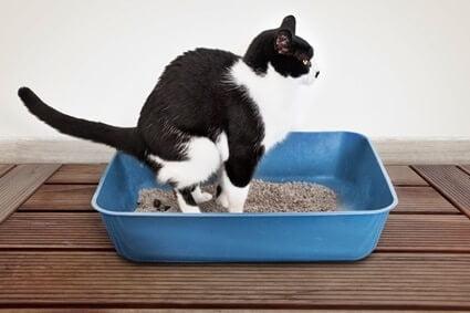 cat keeps stepping in poop
