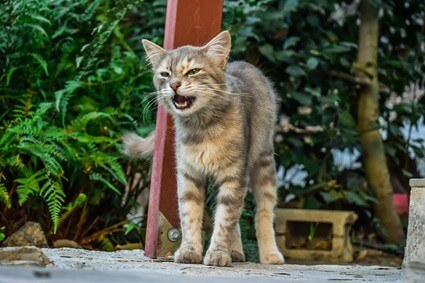 does a cat's meow change with age?