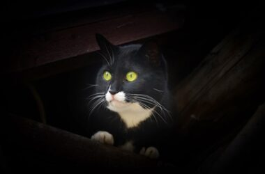 why do cats eyes glow at night?