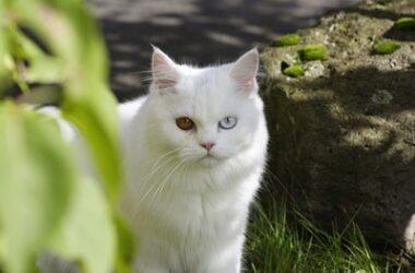 Odd-eyed cat genetics