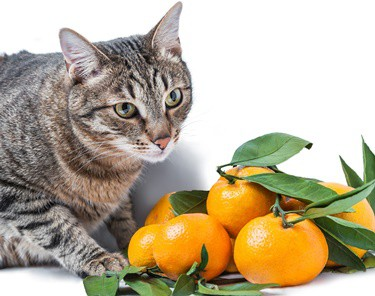 can cats eat oranges?