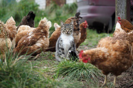do cats get along with chickens?